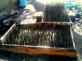 Our mangrove plantation in Rigo's Guest House