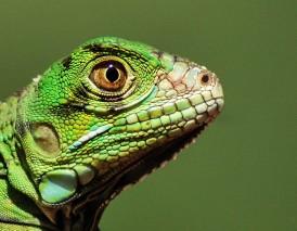 baby green Iguana