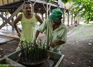 Mangrove plants in Salinas Grandes